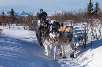 husky's in the snow