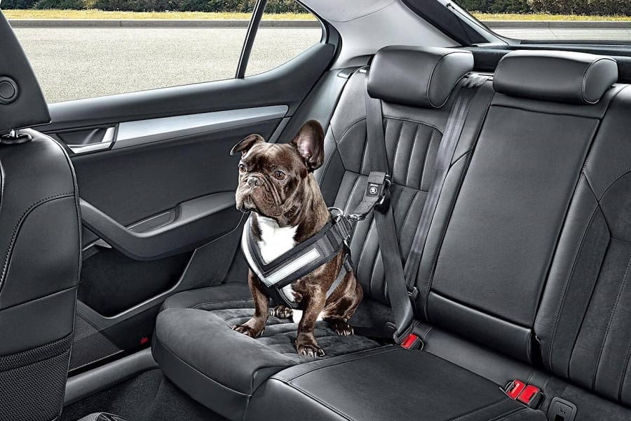 french bulldog with belt on backseat