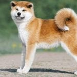 Shiba Akita Mix: Incredible Energy, Unmatched Loyalty