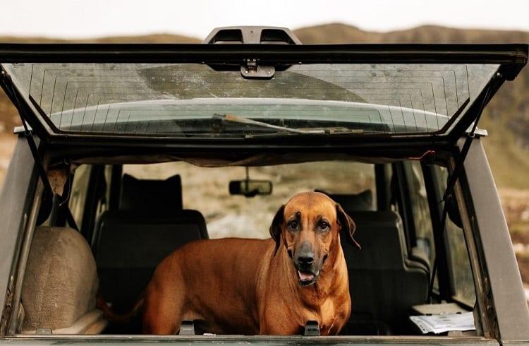 dog in car trunk