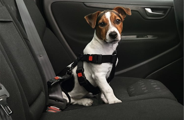 jack russel with safety belt