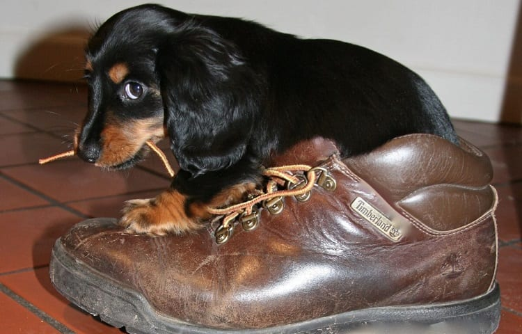 dachshund puppy biting shoelaces