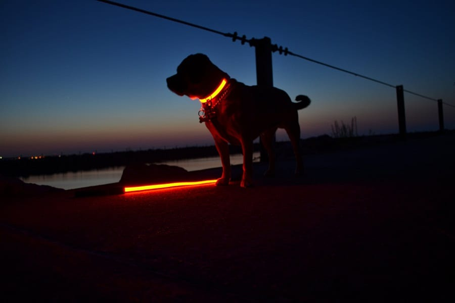orange led collar at night