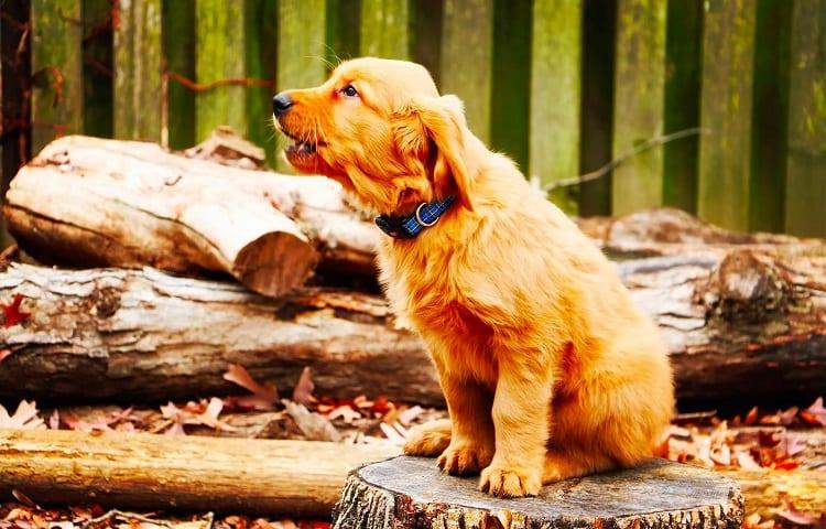 terrier puppy barks