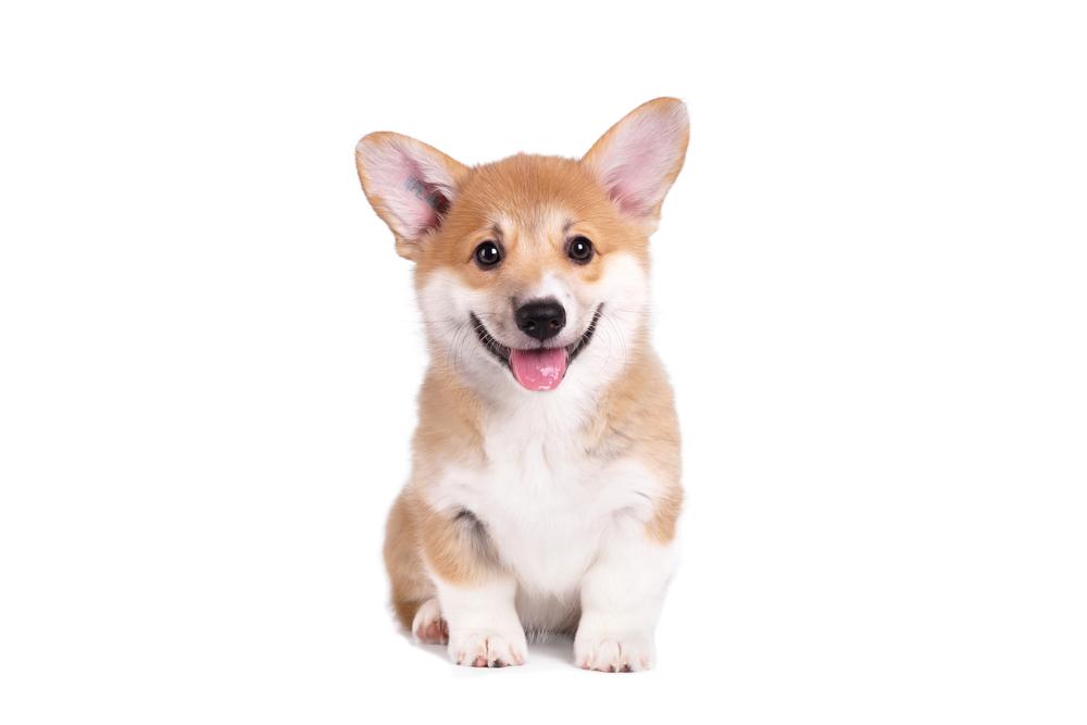 Best Dog Food For Corgis