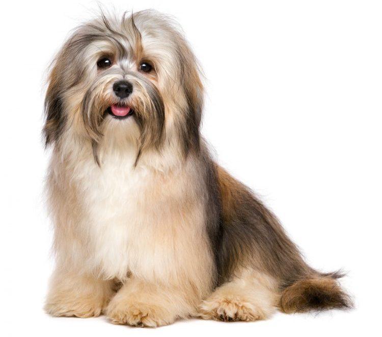 Best Dog Food for Havanese e1609164648880