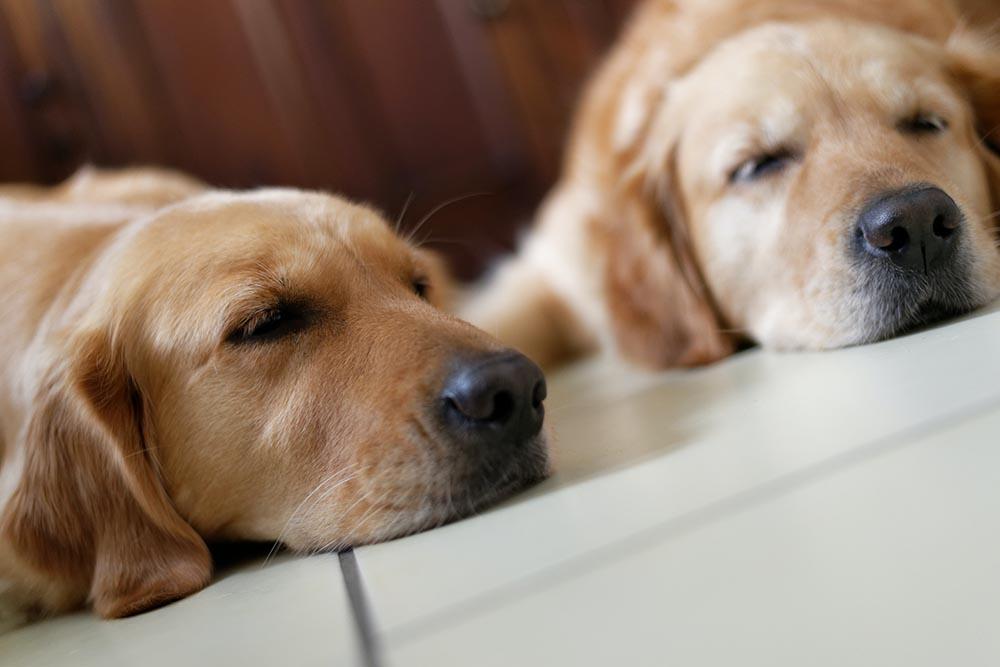 Dogs Sleep With Eyes Open