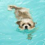 Can Shih Tzus Swim?