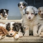 How Far Apart Can Puppies be Born?