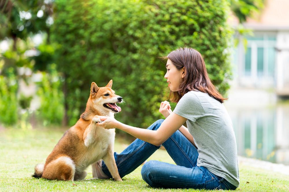 Are Shiba Inus Easy To Train