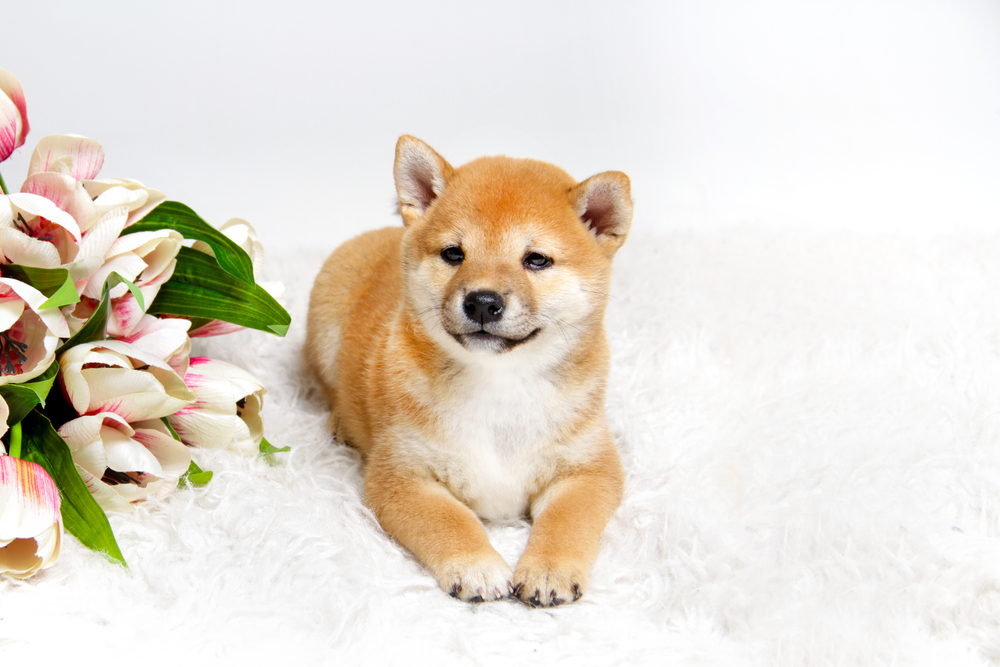 Are Shiba's Good First Dogs