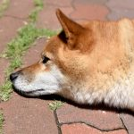 Can Shiba Inus Live in Hot Weather?
