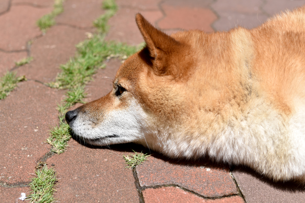 Can Shiba Inus Live In Hot Weather