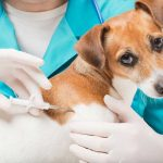 Are Dogs Sore After a Microchip?