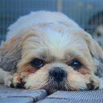 Are Shih Tzu Good Pets?