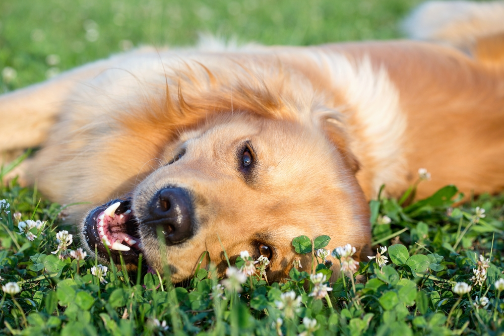Dog Allergies Symptoms Causes Prevention Relief