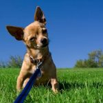 How Do I Train My Chihuahua To Be Nice?