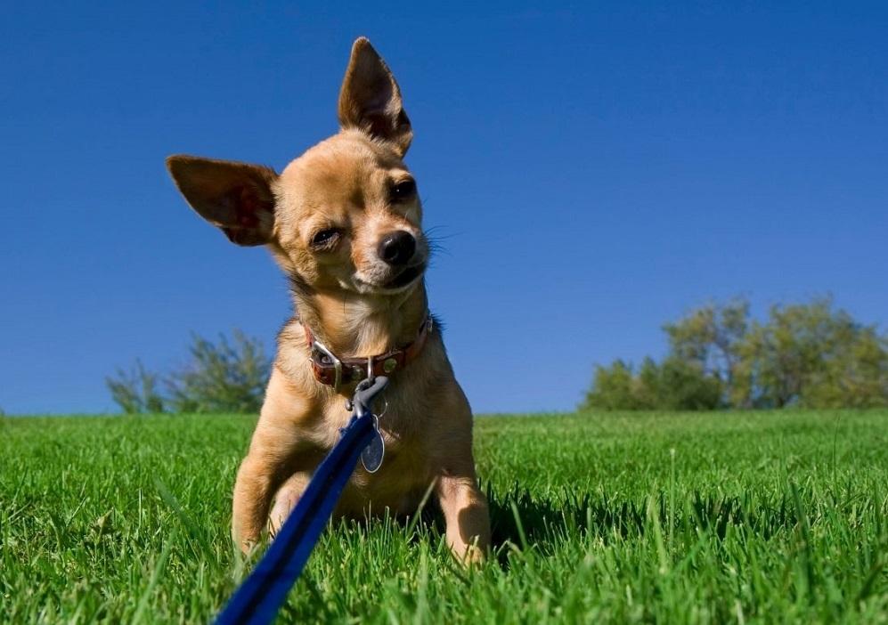 How Do I Train My Chihuahua To Be Nice