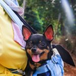 Is a Chihuahua a Good Family Dog?