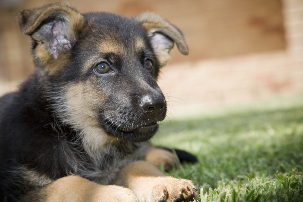 How-to-Take-Care-of-a-German-Shepherd-Puppy