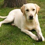 Are Labrador Retrievers Good Apartment Dogs?