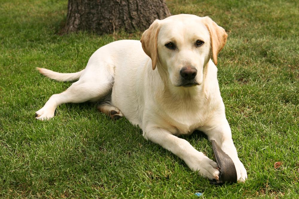 are Labrador Retrievers good apartment dogs